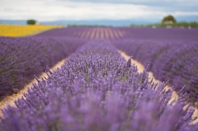 lavender-3