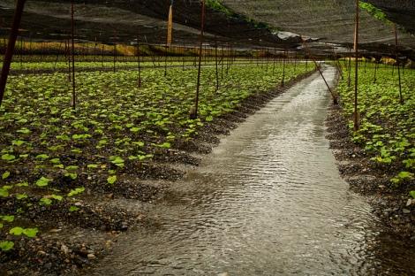 Daio Wasabi Farm 1